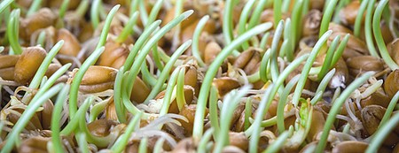 wheat sprouts health benefits